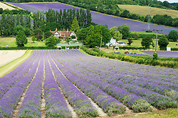 ©Licensed to London News Pictures 15/07/2020     <br /> Sevenoaks, UK. Fields at Castle farm in Sevenoaks, Kent are blooming with purple English lavender. The lavender is ready to be harvested and is shipped around the world for use in food and beauty industries. Photo credit: Grant Falvey/LNP