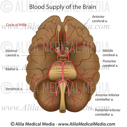 Base of brain diagram internal brain diagram wire diagrams blood supply of the brain alila medical images base of brain diagram diagram of circle of ccuart Image collections