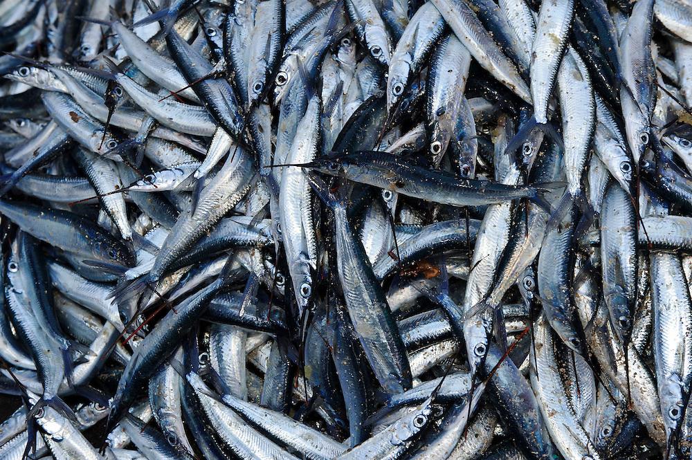 Roa fish, Bangga, Gorontalo, Sulawesi, Indonesia.