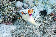 Bullock's Hypselodoris-Doris de Bullock (Hypselodoris bullockii), Bali island, Indonesia.