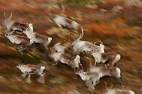 forollhogna national park , norway, september,wild reindeer