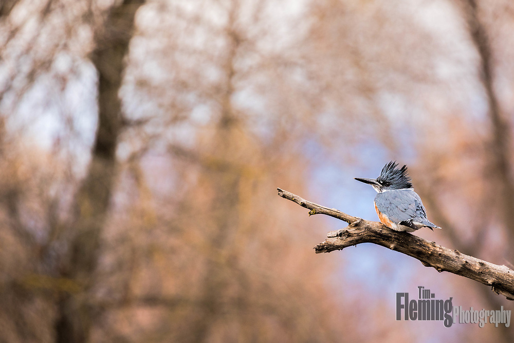 Belted kingfisher perched in tree, Sacramento Wildlife Refuge.