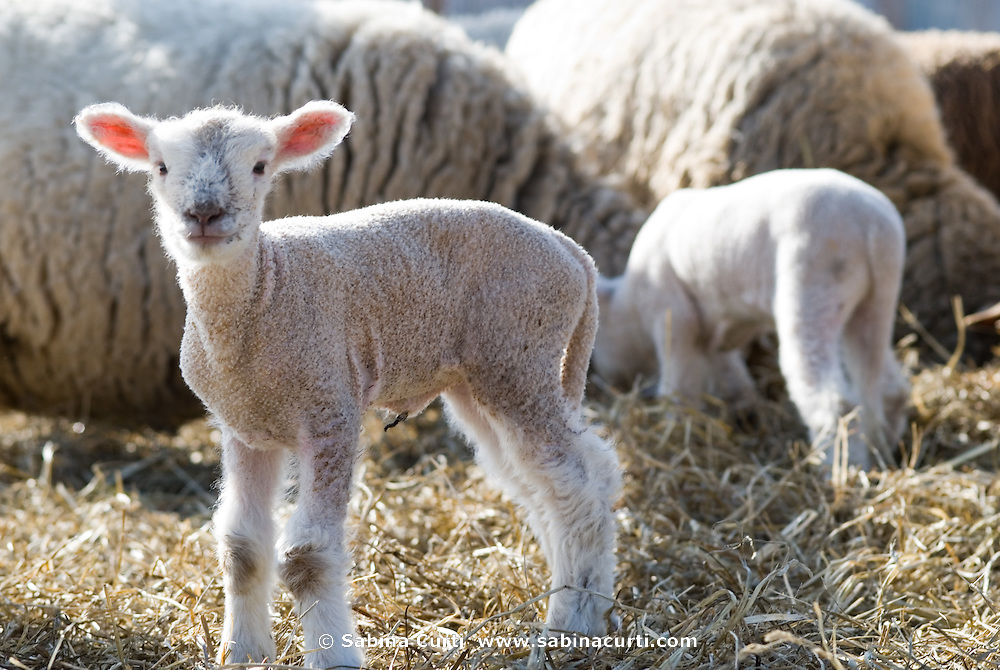 2-day old lambs in early Spring, sustainable family farm, Hillsdale, NY