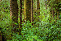 A forest scene in the Quinault Rainforest, Olympic National Park, Washington.
