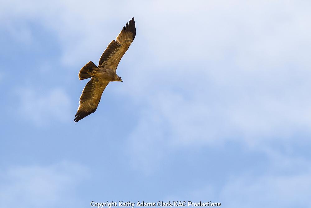 Tawny eagle, Aquila rapax, soaring overhead, Serengeti, Tanzania, Africa.