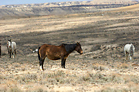 Wild horse (equus caballus), Sand Wash Basin, Wyoming, USA   Photo: Peter Llewellyn