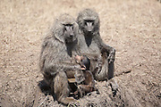 Baboon nursing baby, Serengeti National Park
