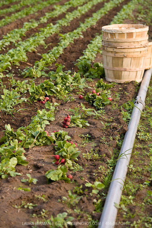 Radish field with irrigation pipe.