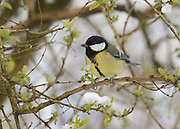 Great tit perched in a tree.