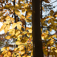 Elm tree in the fall, CT, USA