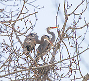 Wildlife, Great Blue Heron's building nests in wildlife conservation area, Boise river Greenbelt Boise, Id