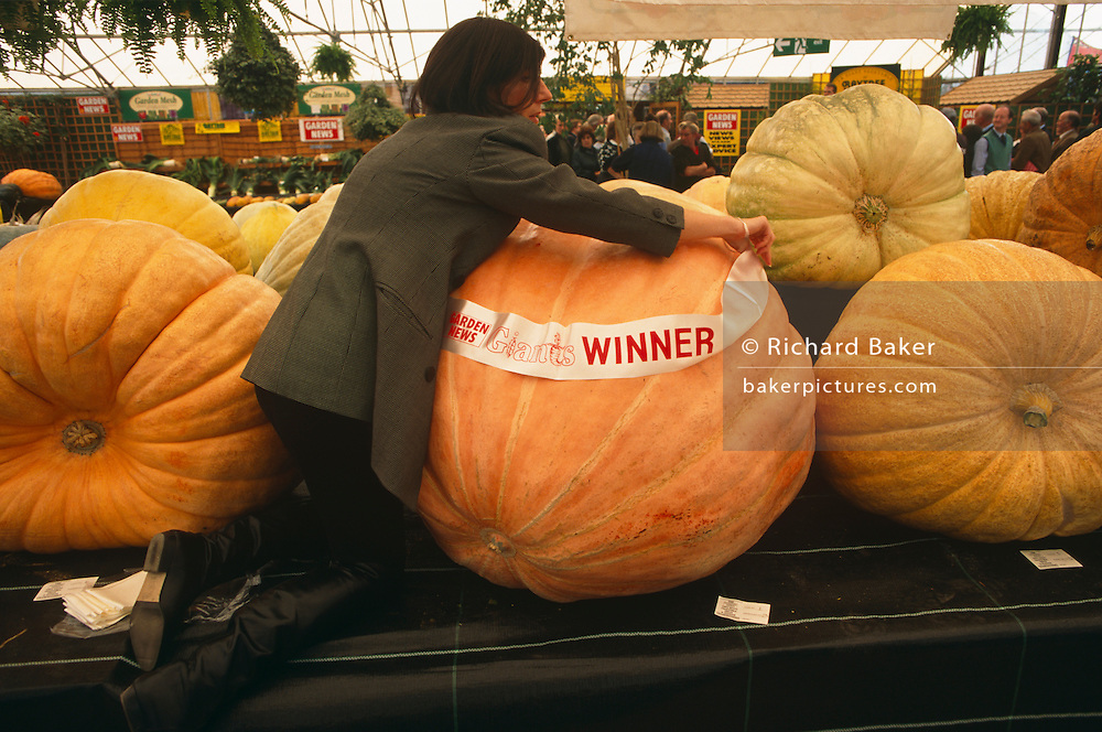 An official from the Giant Vegetable Olympics attaches the winning pumpkin contestant with a sash honouring its great victory at the Bay Tree Nurseries, Spalding, Lincolnshire, England. Reaching round the immense girth of this specimen is awkward and frankly, a ridiculous pursuit. Sponsored by Garden News Magazine and hosted by the nursery owner, these vegetables can weigh up to 300kg, their growth accelerated by special fertilizers and genetic hormones.