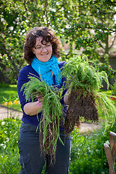 Dividing a perennial (Achillea) using the back to back fork method. Separating clumps