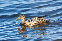 Female Northern Shoveler (Anas clypeata) swimming, Annapolis Royal Marsh, French Basin trail, Annapolis Royal, Nova Scotia, Canada
