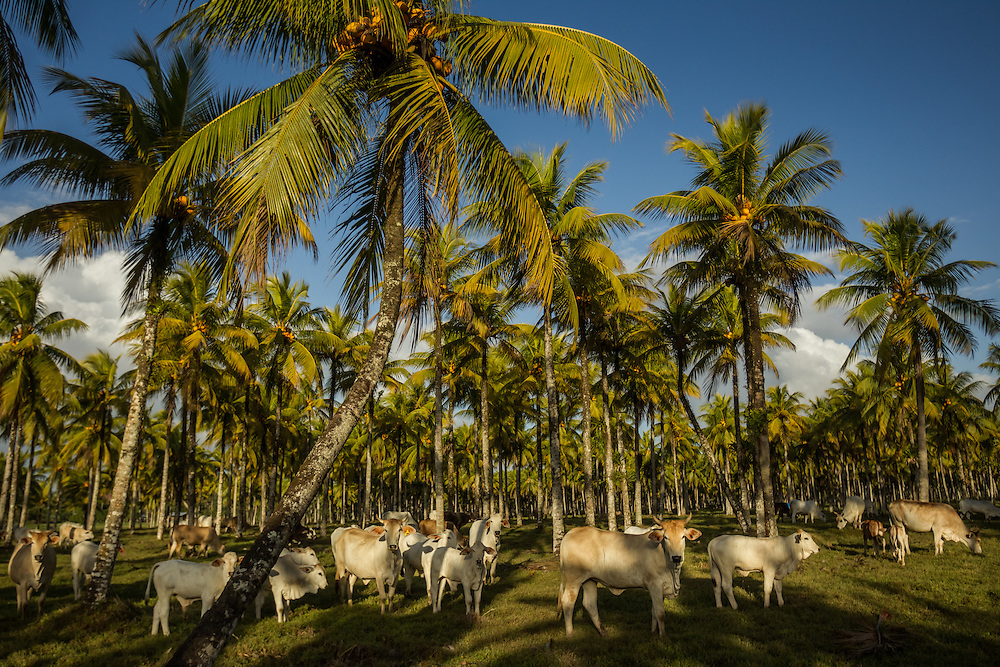 Cattle graze under palm trees at a ranch in Costa Rica. Rancers with land and cattle near by pineapple plantations say the crops produce flies that make their cattle sick.