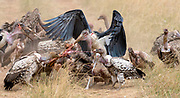 Vultures and marabou storks fighting over the food in Maasai Mara, Kenya.
