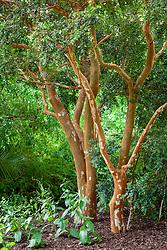The bark of Luma apiculata AGM syn. Myrtus luma  - Temu, Collimamol, Palo colorado