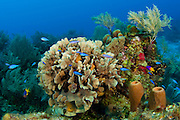 Barrier Reef in Southwest Caye, Belize, Central America, with Lettuce Coral (Agaricia agaricites) and assorted tropical fish species, including blue chromis (Chromis cyaneus)