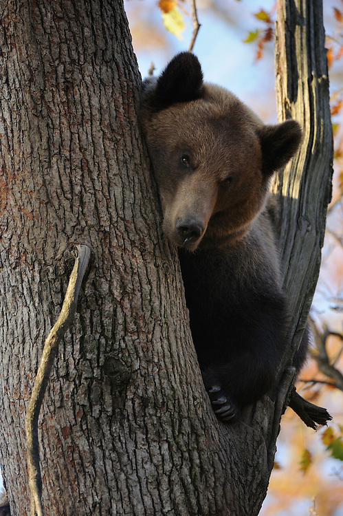 European Brown Bear, (Ursus arctos) captive,  Private Bear Park, near Brasov, Romania, Transylvania, Southern Carpathians, Romania