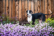 Great dane dog standing in flowering purple lantana.