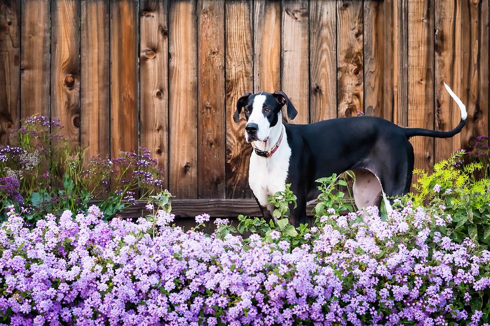 Great dane dog standing in flowering purple lantana.