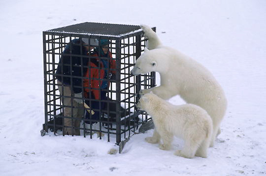 Polar Bear, (Ursus maritimus) Tourist in cage sees eye to eye with mother and cub. Churchill, Manitoba. Canada.