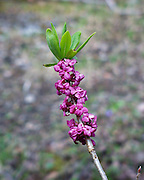 Mountain flowers in Trøndelag, Norway. Tysbast (Daphne mezereum) blomstrer på bar kvist om våren. Meget giftig plante. Engl: Mezereon. Native to most of Europe and western Asia, north to northern Scandinavia and Russia. The hole plant is very poisonous.