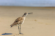 Willet singing at Kitty Hawk Beach on the Outer Banks.