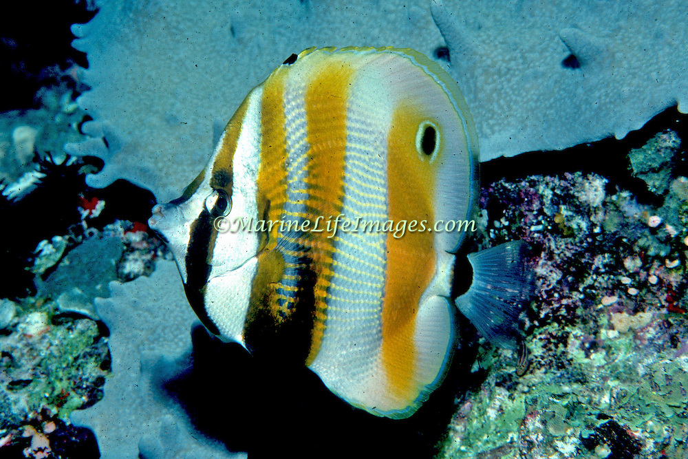Orange Banded Coralfish inhabit reefs. Picture taken PNG.