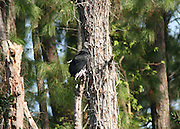 Black Vulture on a dead tree at the Jekyll Island rookery