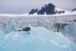 Black-legged Kittiwake (Rissa tridactyla) in Svalbard