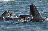 Long-finned Pilot Whale Globiocephala melaena Length 4-6m Medium-sized cetacean with distinctive head and dorsal fin shapes. Lives in sizeable groups (pods) and feeds mainly on squid. Head, back and dorsal fin are visible at same time when cruising at surface. Adult is mainly blackish with greyish saddle-shaped mark behind dorsal fin. Has white, thighbone-shaped mark from throat to vent, seen only when breaching. Head is blunt-ended, forehead is domed and flippers are long and sickle-shaped. Dorsal fin is broad-based and curved.
