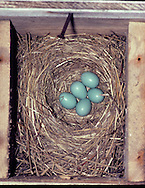 Eastern Bluebird Nest (Sialia sialis) with five (5) eggs