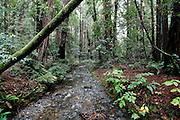 A view from the trail through Muir Woods outside of San Francisco, California