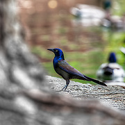 Grackle Bird in front of ducks in the pond.