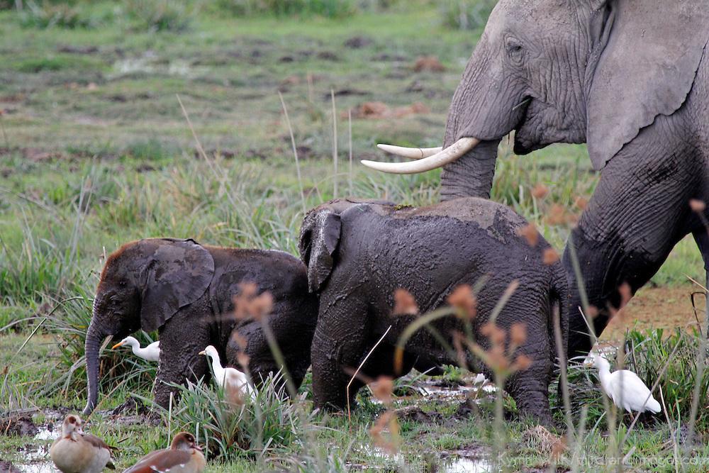 Africa, Kenya, Amboseli. Amboseli elephants in marsh, teaching the young ones to stay cool.