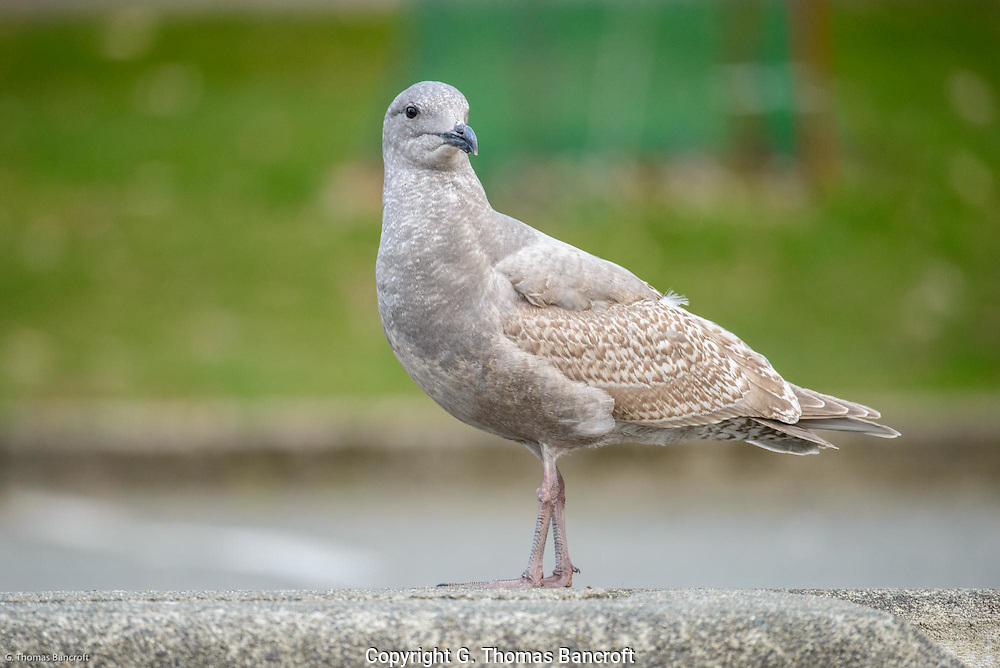 A first-year Glaucous-winged Gull surveys the surroundings.