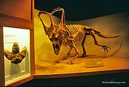 Chasmosaurus display at the Dinosaur Provincial Park Museum in Alberta Canada