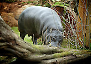 Pygmy Hippos at London Zoo <br />