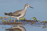 Lesser Yellowlegs - Tringa flavipes - juvenile