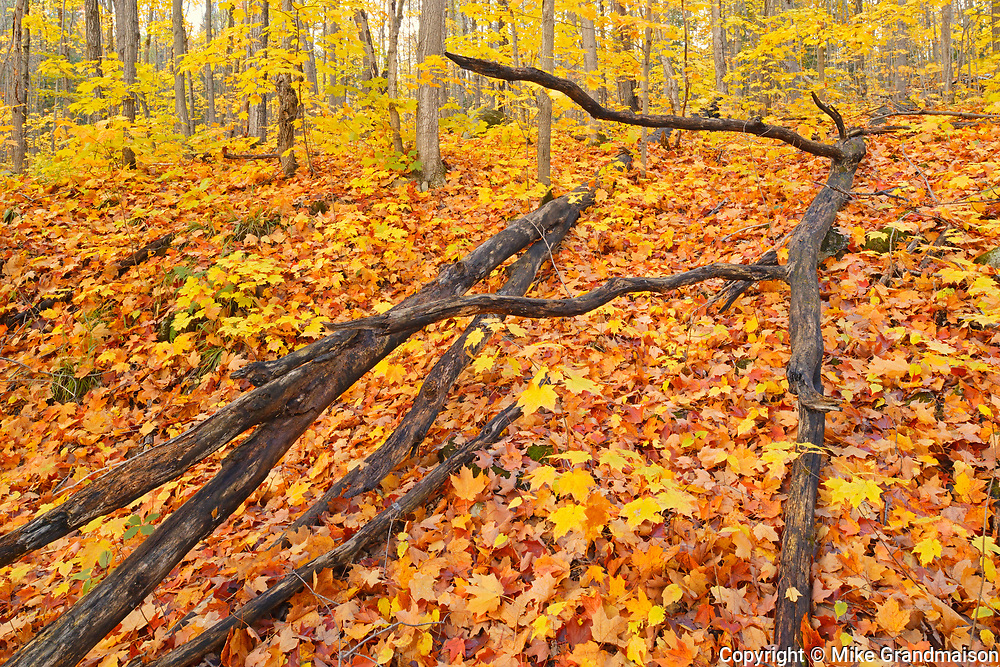 leaves of sugar maple trees (Acer saccharum) on forest floor, Parry Sound, Ontario, Canada
