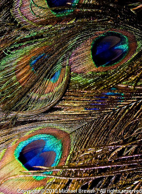 Switzerland. Springtime. Arrangement of lovely peacock feathers to form a beautiful pattern.  Close-up.