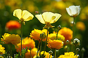 Colorful Poppies and Marigolds