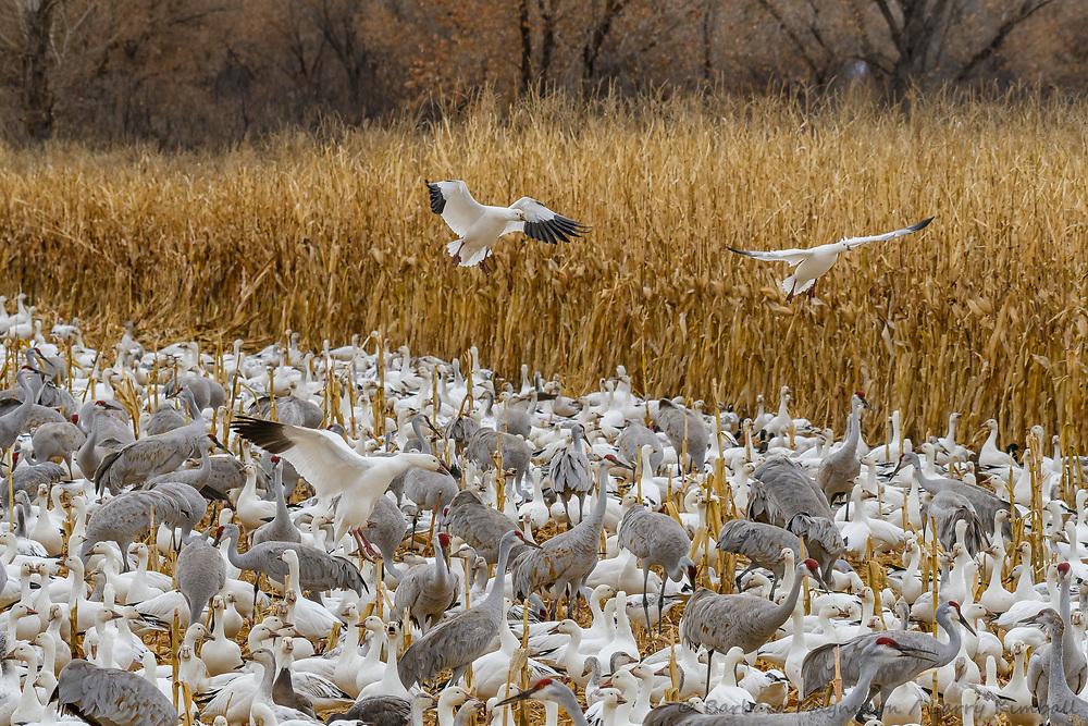 Snow Geese [Chen caerulescens] & Sandhill Cranes [Grus canadensis] feeding in corn field; Bosque del Apache NWR., NM
