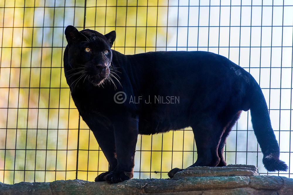 "Melanistic male jaguar (Panthera onca), known as ""panther"" in Wildlife World Zoo, Phoenix, Arizona, USA"