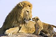 Lion<br /> Panthera leo<br /> 7-8  week old cub(s) approaching adult male<br /> Masai Mara Reserve, Kenya