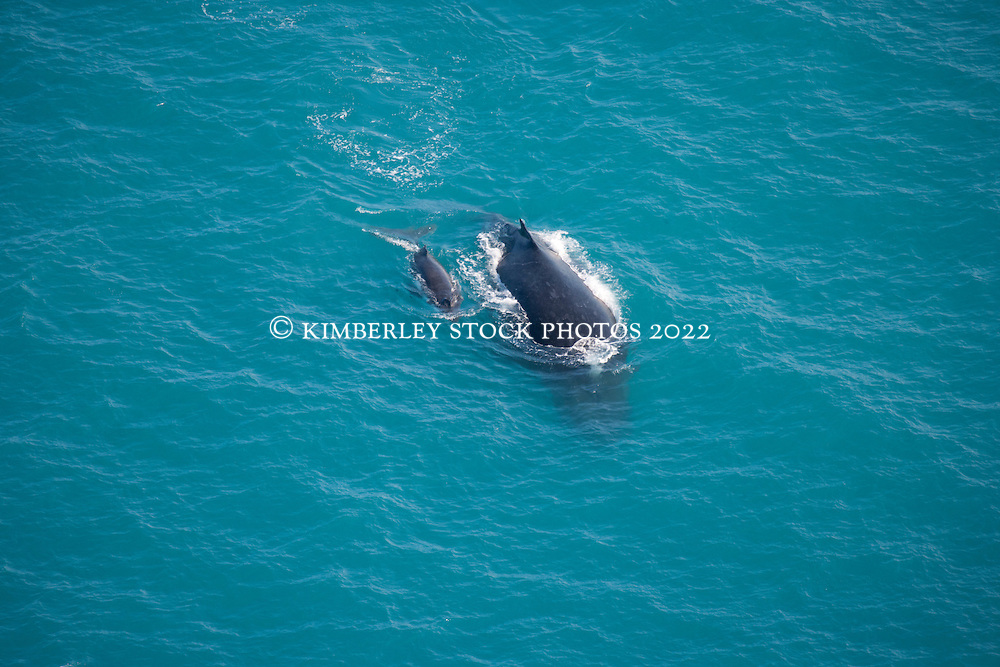 A female humpback whale and calf off James Price Point to the north of Broome.