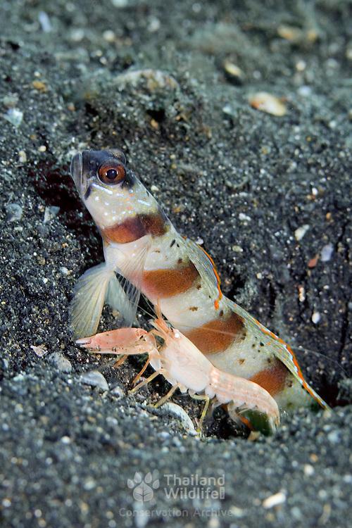 Eyebrow Shrimpgoby Amblyeleotris sp. at, Lembeh Straits, Indonesia.