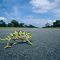 Namibia, Caprivi Strip, Flap-necked Chameleon (Chamaeleo dilepis) runs across road near Angola border