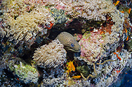 Giant moray-Muréne javanaise (Gymnothorax javanicus) of Red Sea, Sudan.